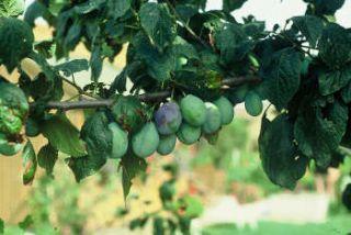 prunier et prune