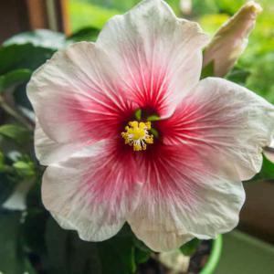 Rose de chine tous les conseils d 39 entretien for Entretien hibiscus exterieur