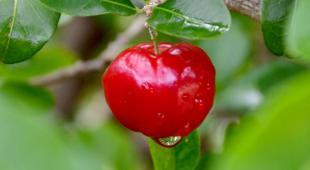 Acerola cherry on leafy branch.