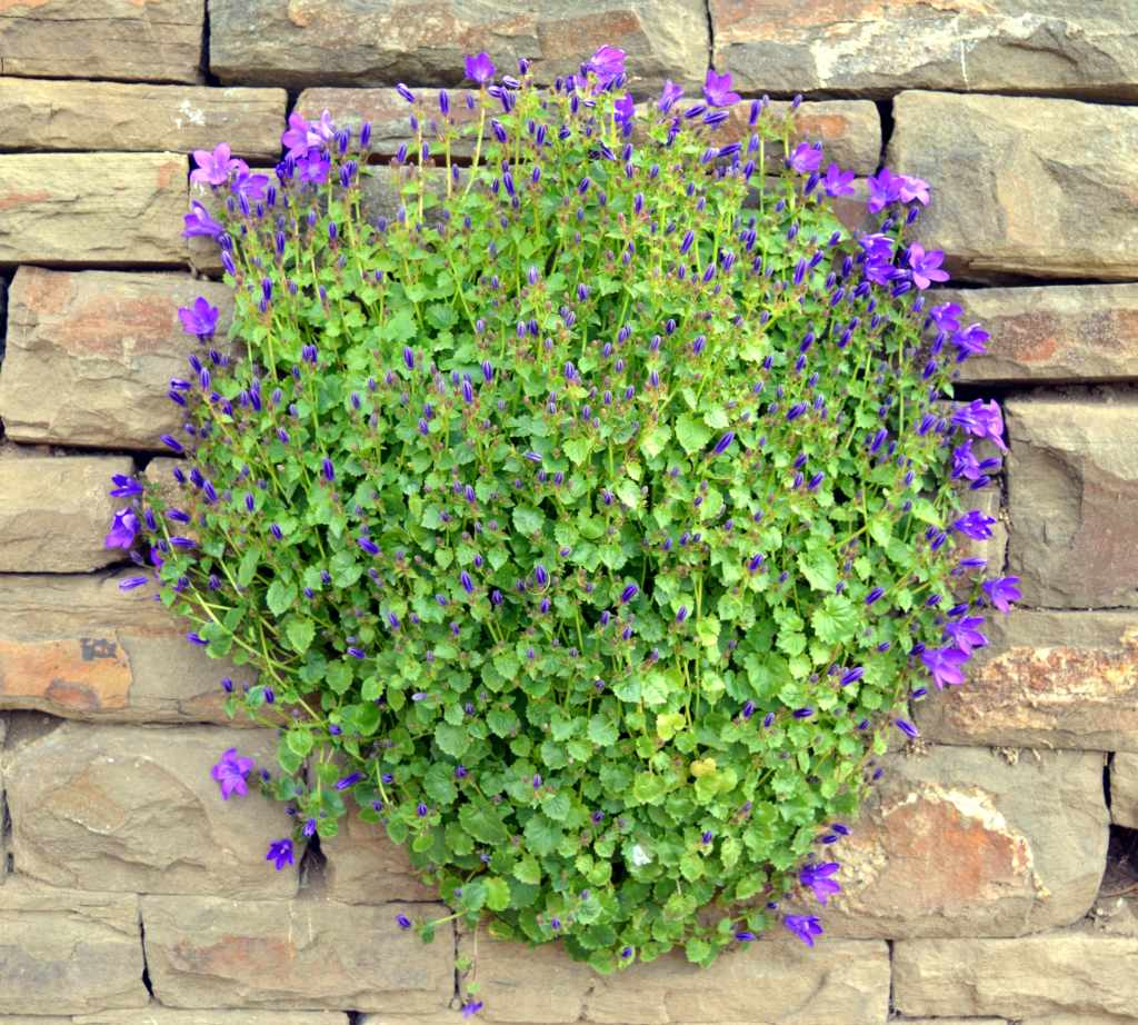 A round clump of bellflowers decorating a stone wall.