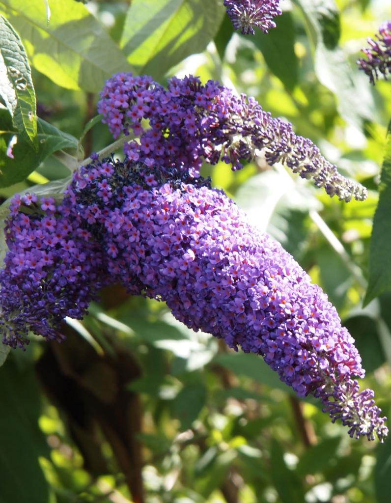 Buddleia, the butterfly bush