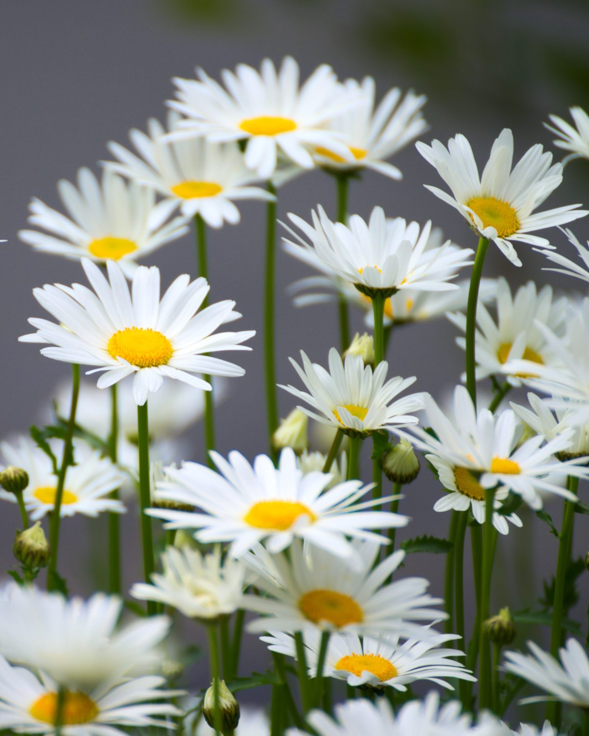 Chamomile, growing, harvest and health benefits