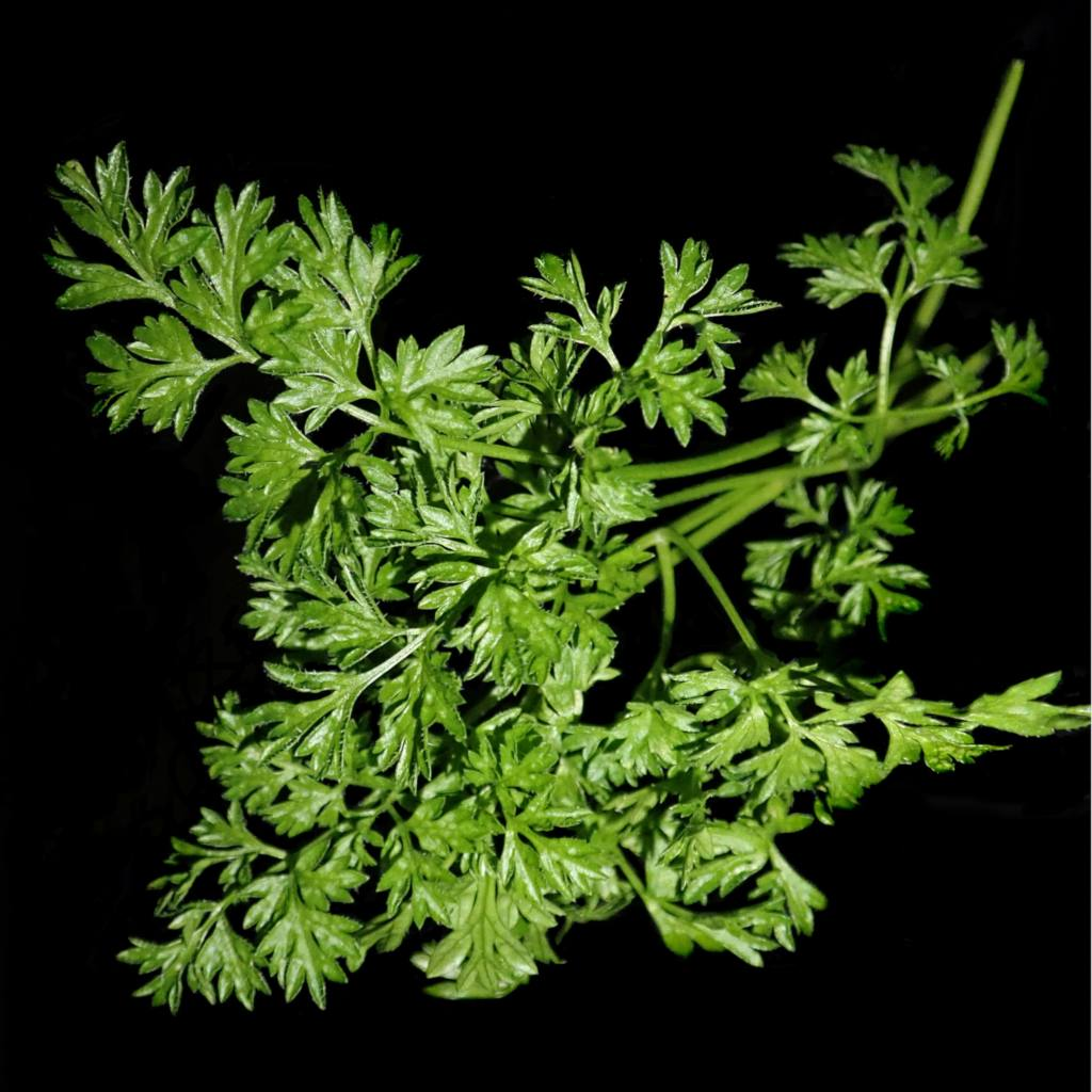 Chervil health benefits and therapeutic value