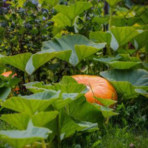 Citrouille culture semis et r colte des citrouilles - Faire griller des graines de citrouille ...