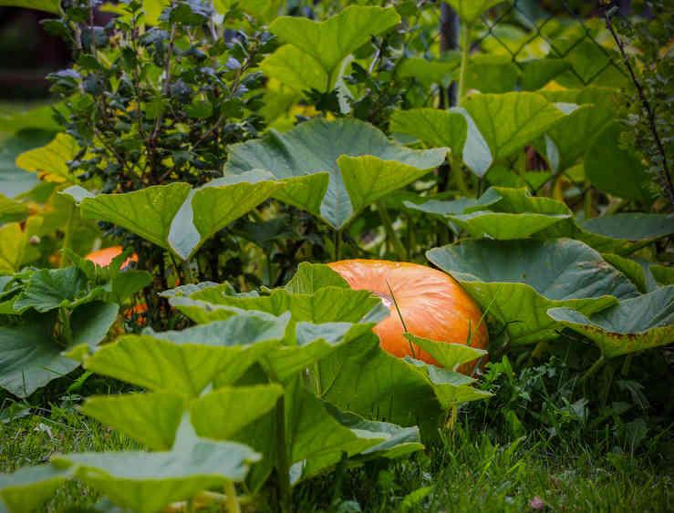 Pumpkin, how to grow pumpkins