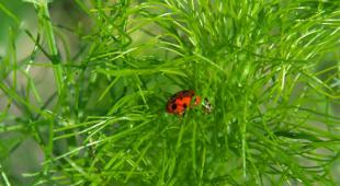 Dill leaves with a ladybug in them.