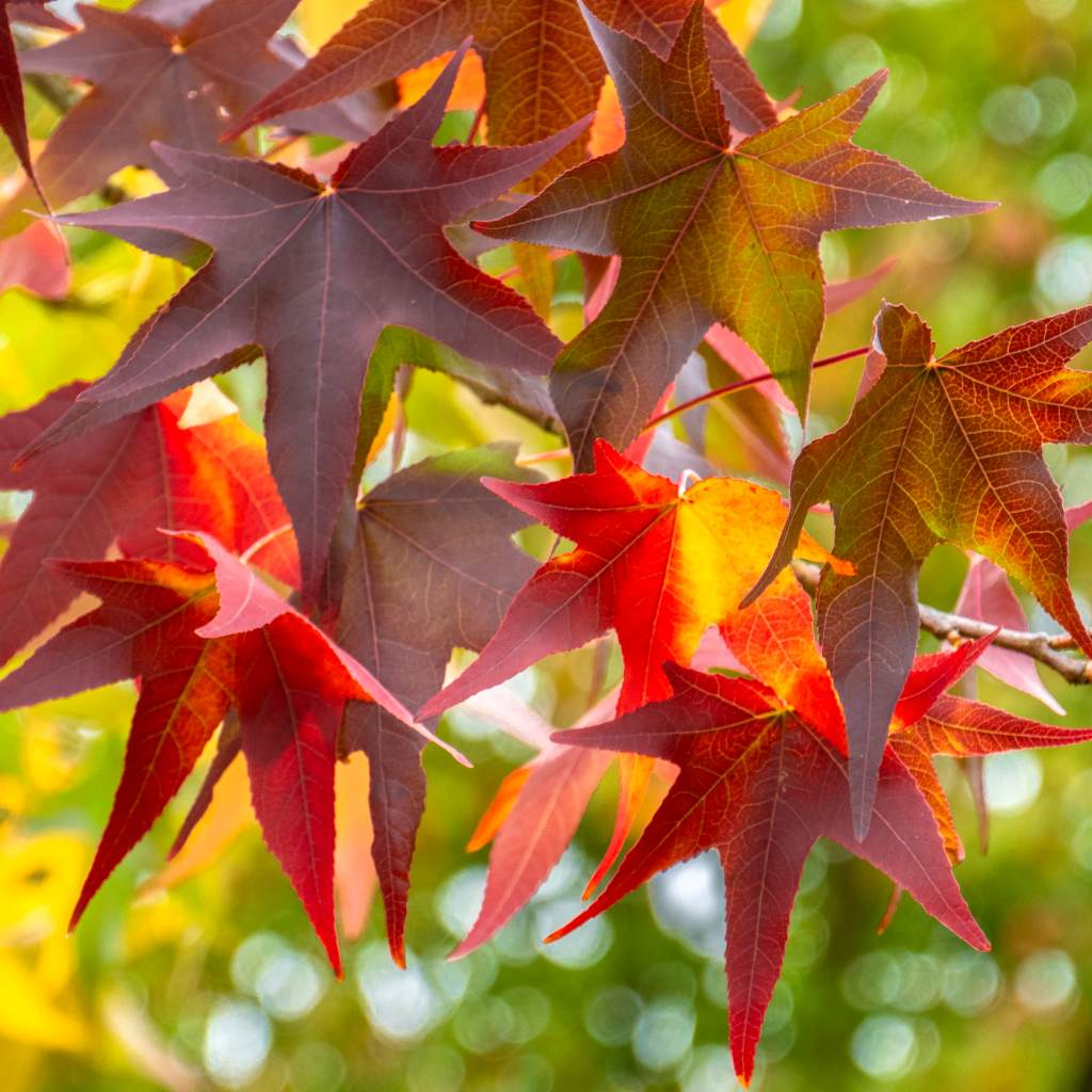 Fire-colored leaves of an Acer palmatum maple tree.