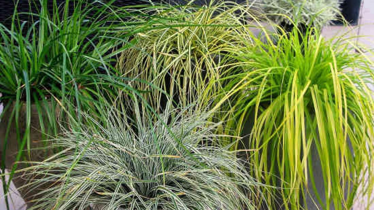 Les Plus Belles Graminées zoom sur les graminées, des plantes faciles et décoratives