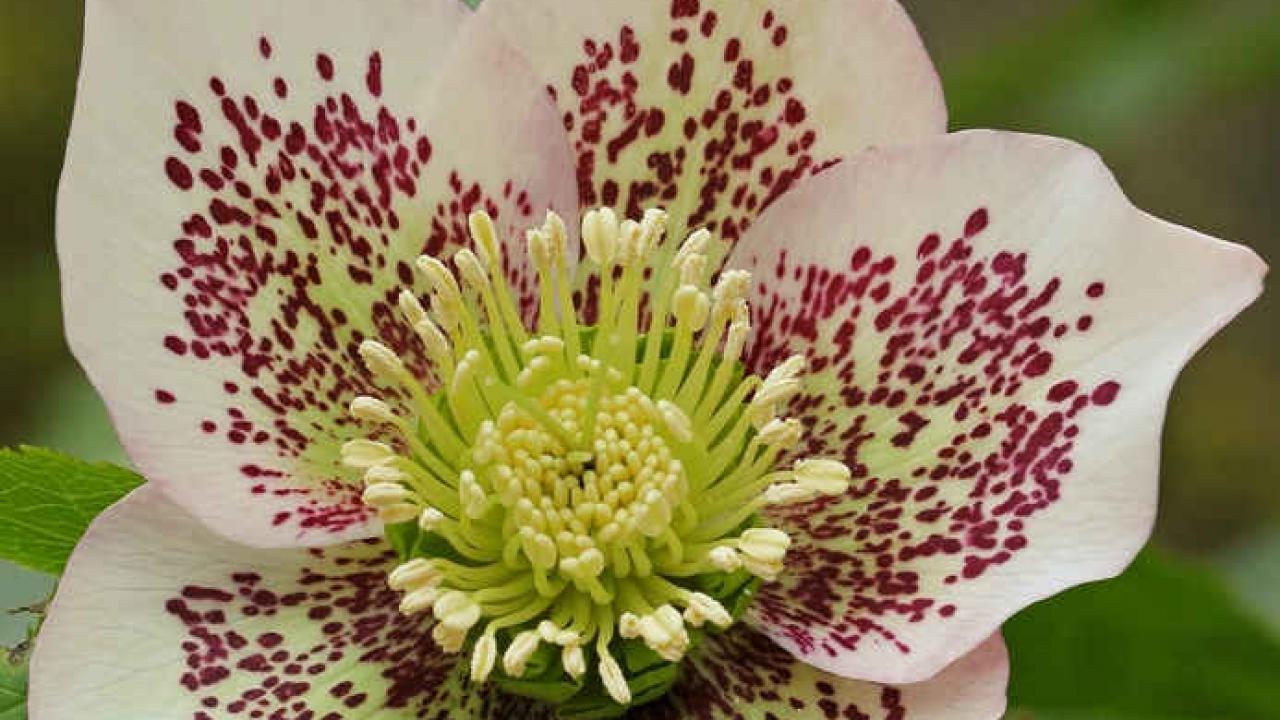 Hellebore Rose De Noel Entretien hellébore, rose de noël : plantation, entretien et floraison