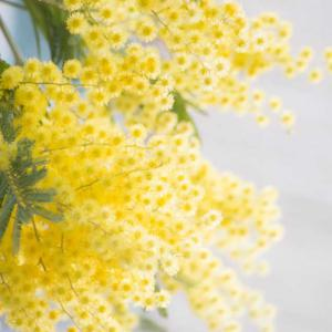 Mimosa tree planting pruning and advice on caring for winter mimosa mimosa tree a superb flower tree mightylinksfo