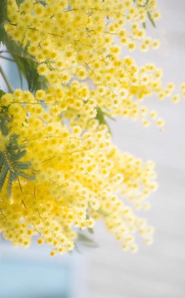 Mimosa tree, a superb flower tree!