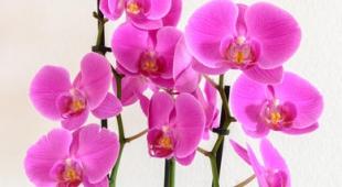 cymbidium conseils d 39 entretien d 39 une superbe orchid e. Black Bedroom Furniture Sets. Home Design Ideas