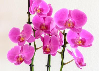 orchid e floraison soins et conseils d 39 entretien. Black Bedroom Furniture Sets. Home Design Ideas