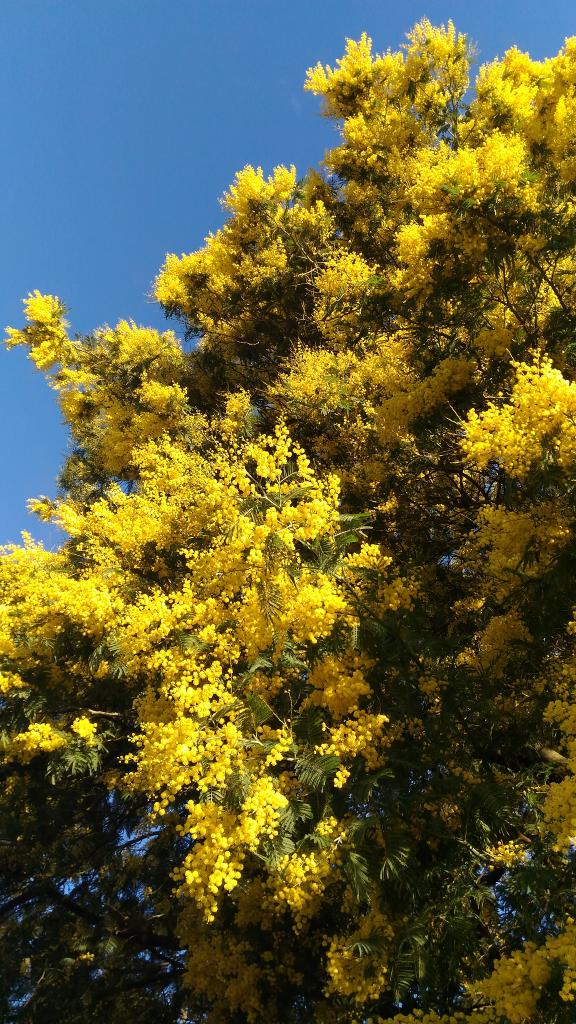 Mimosa tree planting pruning and advice on caring for winter mimosa tall mimosa tree in full bloom mightylinksfo
