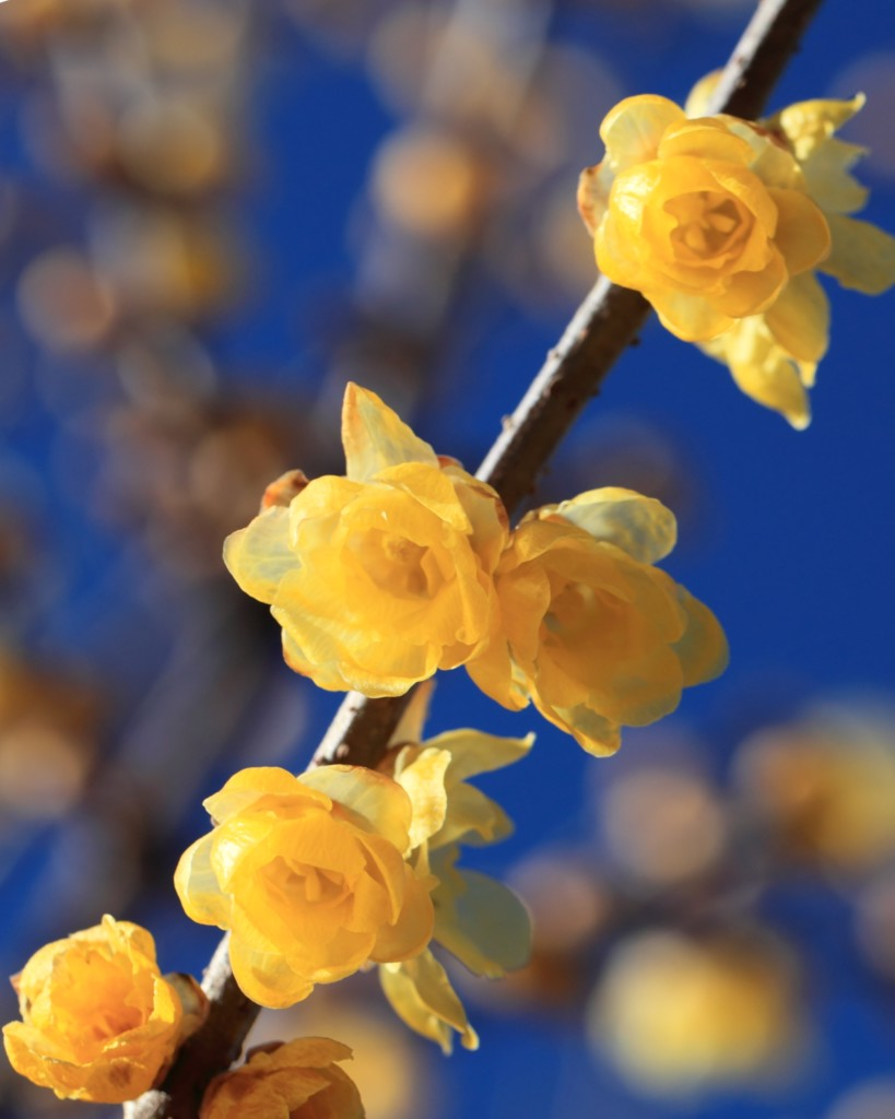 Delicately unfurled yellow wintersweet blooms along a branch, with hazy branches and blue sky in the background.