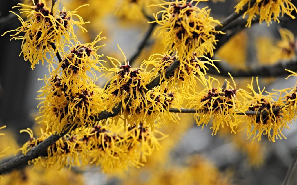 A branch of blooming witch-hazel with flowers made of yellow strands.