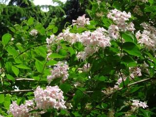 abelia plantation