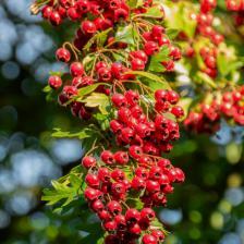 Hawthorn, a cute little shrub