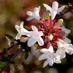 pinkish white glossy abelia flowers with red leaves unfurling at the center
