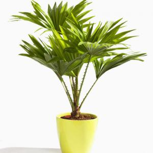 palmier eventail entretien
