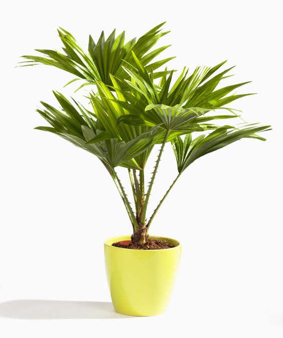 livistona rotundifolia qui s 39 ass che plantes du jardin et de la maison forum du jardin et du. Black Bedroom Furniture Sets. Home Design Ideas