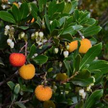 arbousier arbutus