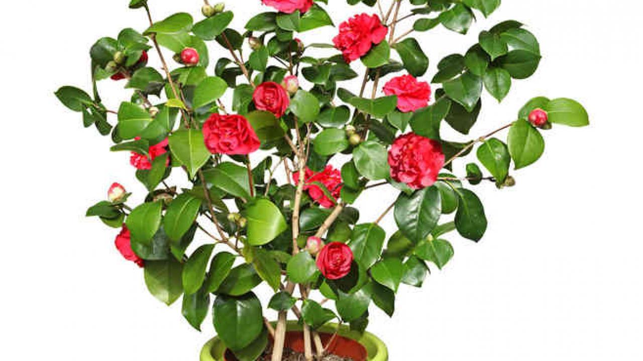 Arbuste Persistant Pour Pot camélia en pot : culture et conseils d'entretien