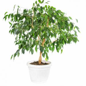 Ficus tous les conseils d 39 entretien - Comment tailler un ficus ...