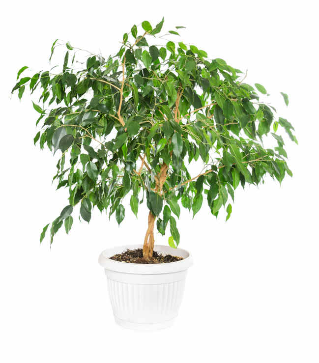 Ficus, ideal for indoors