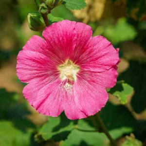 Hibiscus conseils d 39 entretien culture et arrosage for Hibiscus entretien exterieur