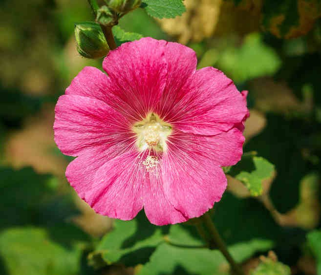 Hibiscus Care: Care, Growing And Watering Advice