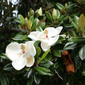 magnolia grandiflora plantation et conseils d 39 entretien. Black Bedroom Furniture Sets. Home Design Ideas