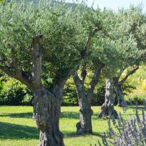 olivier entretien taille et maladies des oliviers. Black Bedroom Furniture Sets. Home Design Ideas
