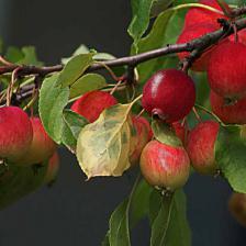 pommier_apple-tree