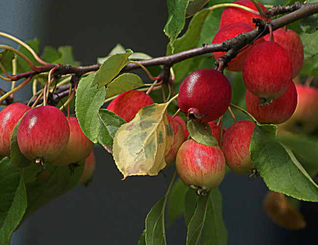 pommier_apple-tree