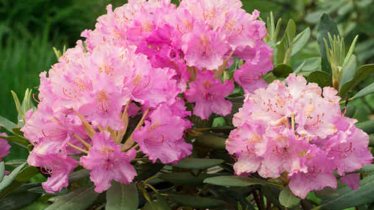Arbuste Pour Terrain Calcaire rhododendron : plantation, taille et conseils d'entretien