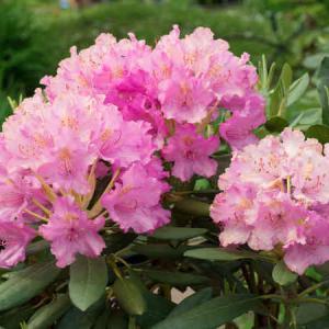 Rhododendron plantation entretien et taille du rhododendron - Les plus beaux arbustes persistants ...