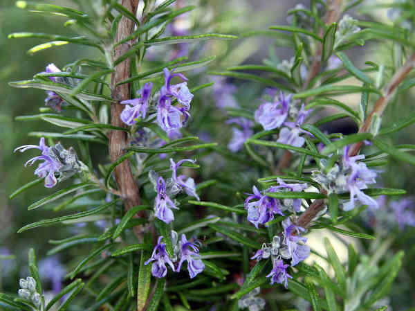 Rosemary, beautiful in the garden, useful in the kitchen