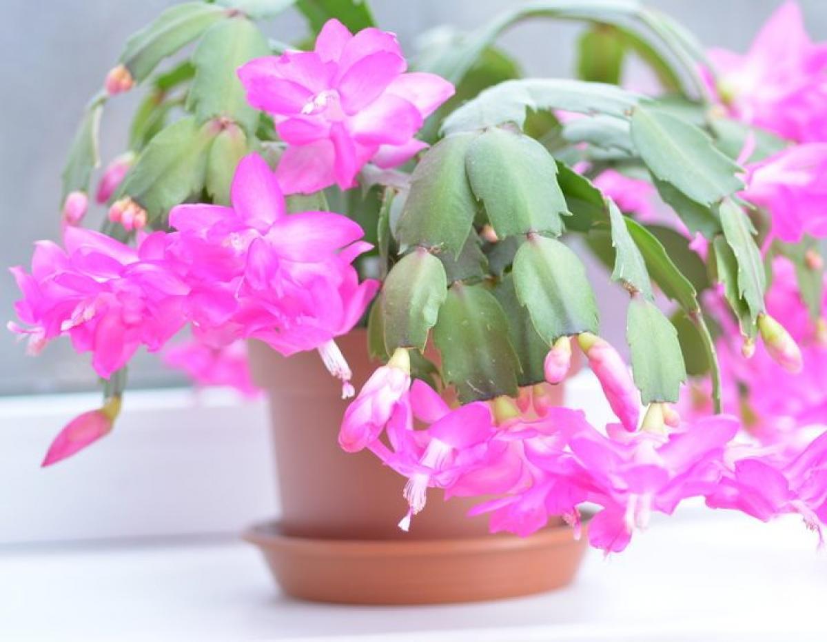 Schlumbergera Cactus De Noel Tous Les Conseils D Entretien