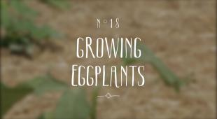 Eggplant_Nature_and_garden_Moment