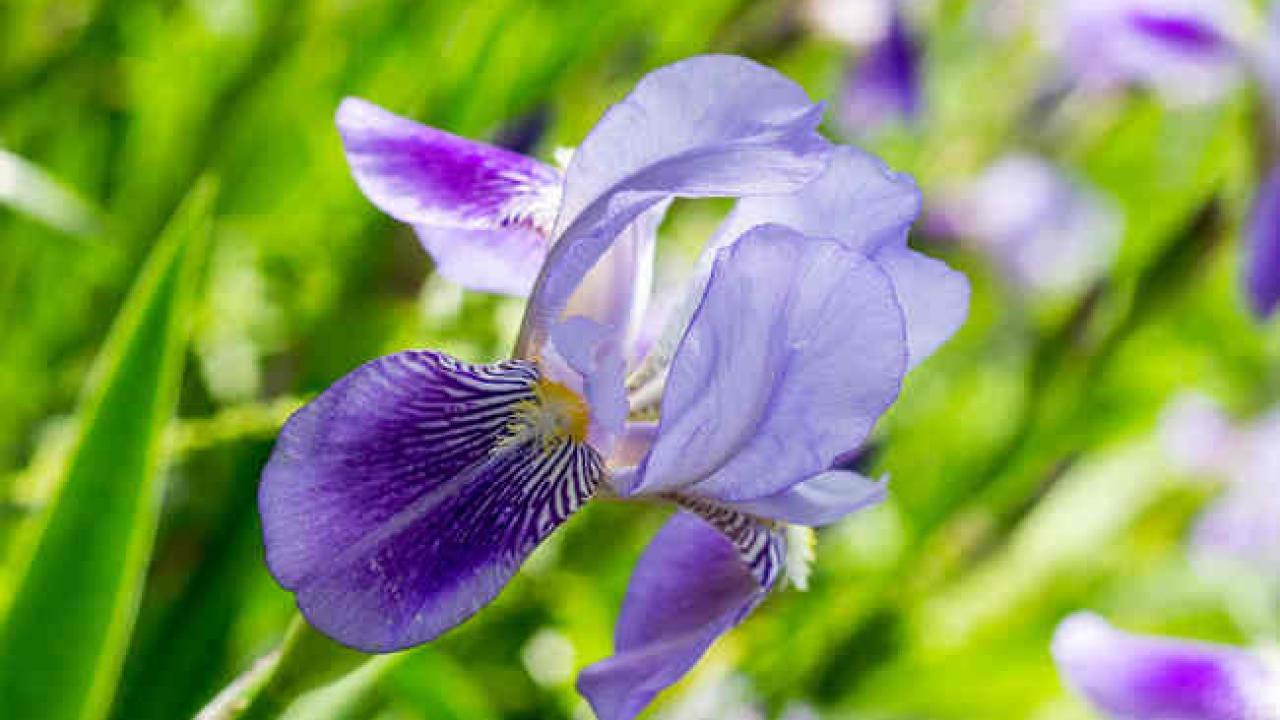 Graines De Fleurs Qui Poussent Très Vite iris : plantation et entretien des fleurs