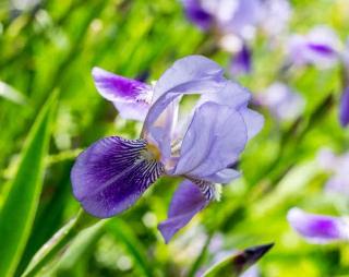 iris plantation