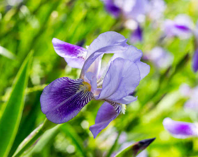 Iris, a superb perennial flower