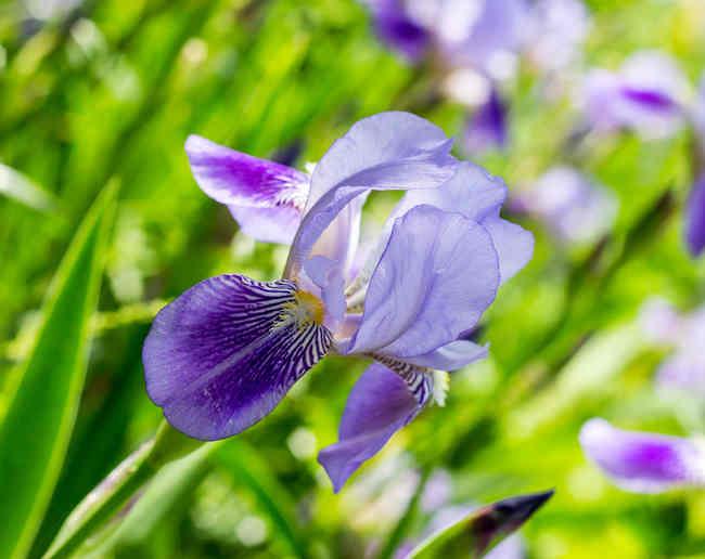 Iris plantation et entretien des fleurs for Plantation de fleurs