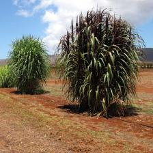 Bana grass, great fodder for animals and useful in the garden