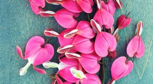 Three handfuls of bleeding heart flowers picked and strewn across a pastel blue plank of wood.