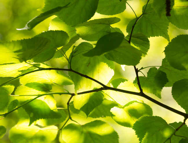 Hornbeam, a very beautiful tree