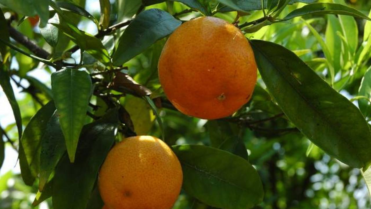 Arbre Fruitier En Pot Interieur clémentinier : plantation, entretien, taille et récolte