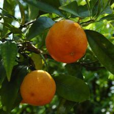 clementinier
