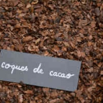 coques cacao paillage
